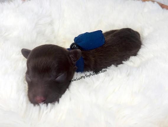Royal Blue Toy Poodle