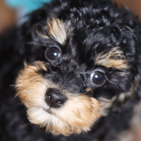 Toy Poodle puppy LucyLou