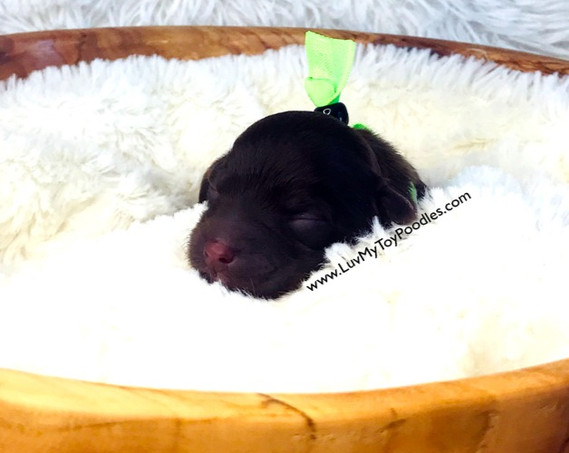 Lime Male Toy Poodle