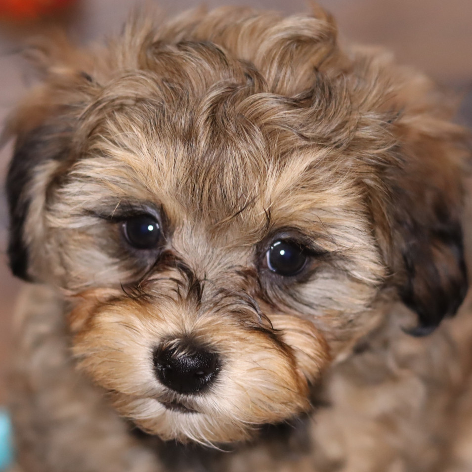 Toy poodle puppy tan.jpg