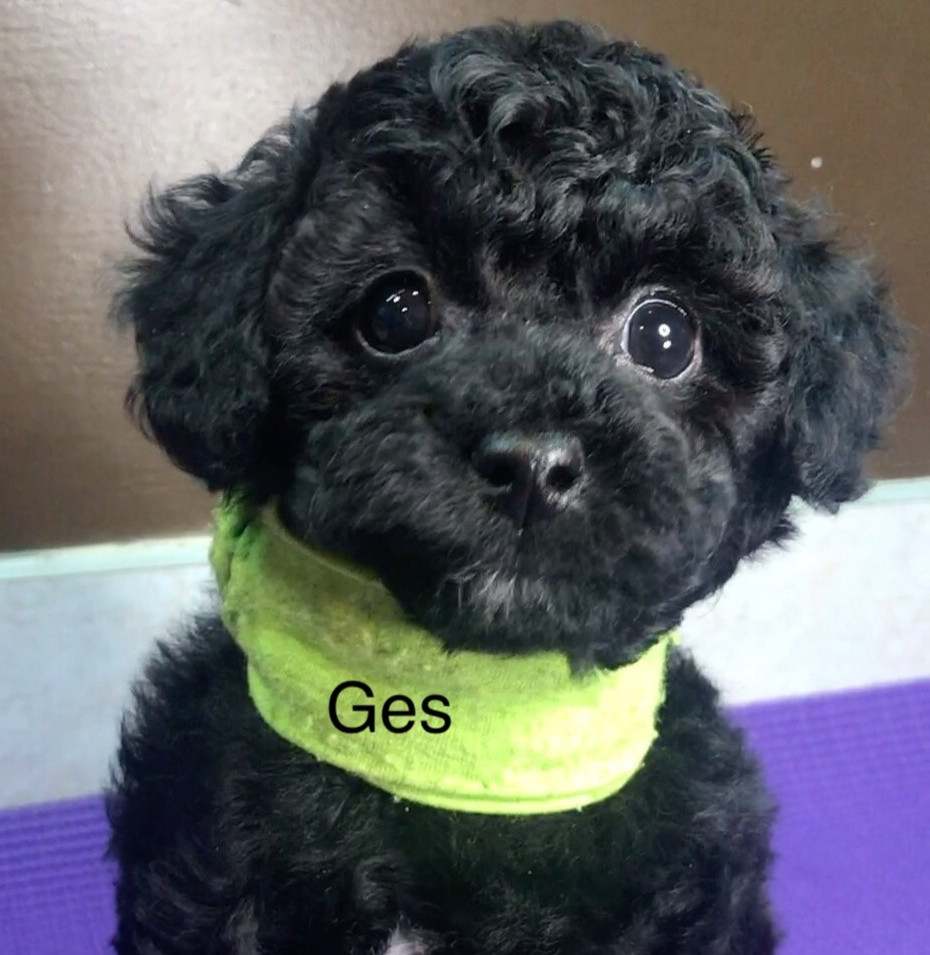 Green - Ges - Toy Poodle