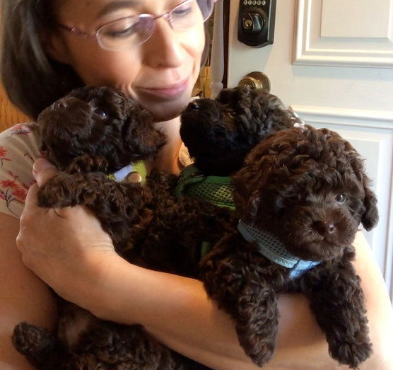 Loving toy poodle puppies