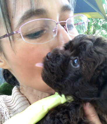 Loving toy poodle puppy