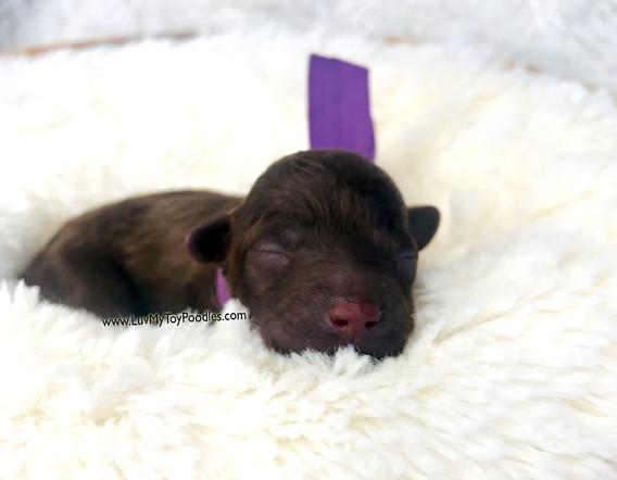 Purple Female Toy Poodle