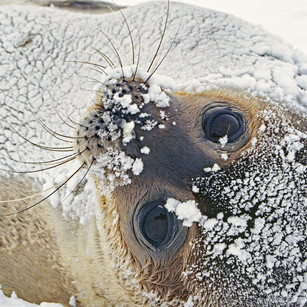 Weddell seal snow covered during snowfal