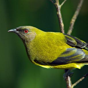 Bellbird_New Zealand's sweetest songbird