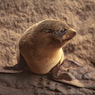 Westerskov_[Kaikoura]_fur seal pup ashor