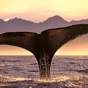 Sperm whale diving dusk KK_NZ00973_Sh25_