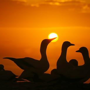 Gannets_sunrise_Cape Kidnappers_00.jpg