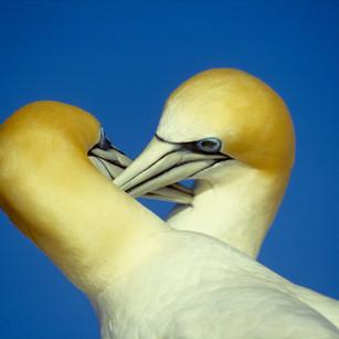 Gannets grooming tif.jpg