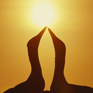 Gannet pair stretch sun close - as sent