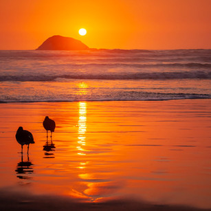 Oystercatchers_Muriwai_Oaia Island_Aussi