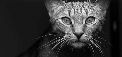 Black-and-white%20tabby%20portrait_edited.jpg