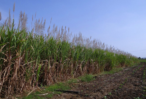 Sugarcane Jet Fuel