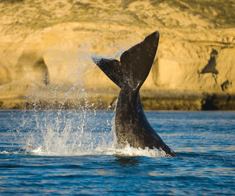 Southern-Right-Whale-Peninsula-Valdes-Argentina.jpg