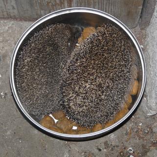 Two hedgehogs eating Alicja's dog dinner