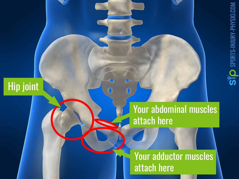 Picture of your pelvic bone and hip showing where your abdominal and adductor muscles attach to the pubic bone in the groin.
