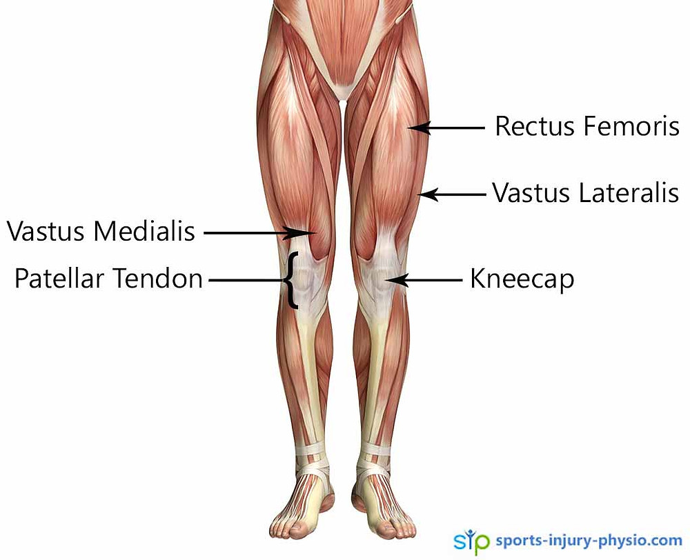 The anatomy of the quadricep muscle