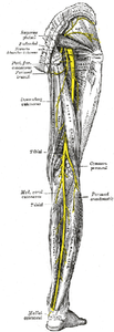 The sciatic nerve is a thick nerve that runs down the back of your leg.