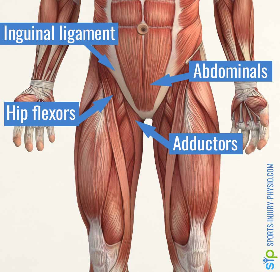 Picture showing the muscles that attach to or run over your groin: hip flexors, abdominals, adductors and inguinal ligament.