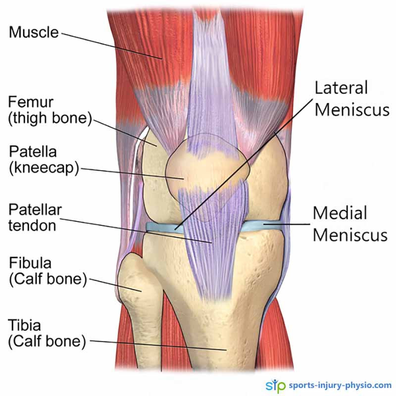 Anatomy picture of the knee showing the medial and lateral menisci.