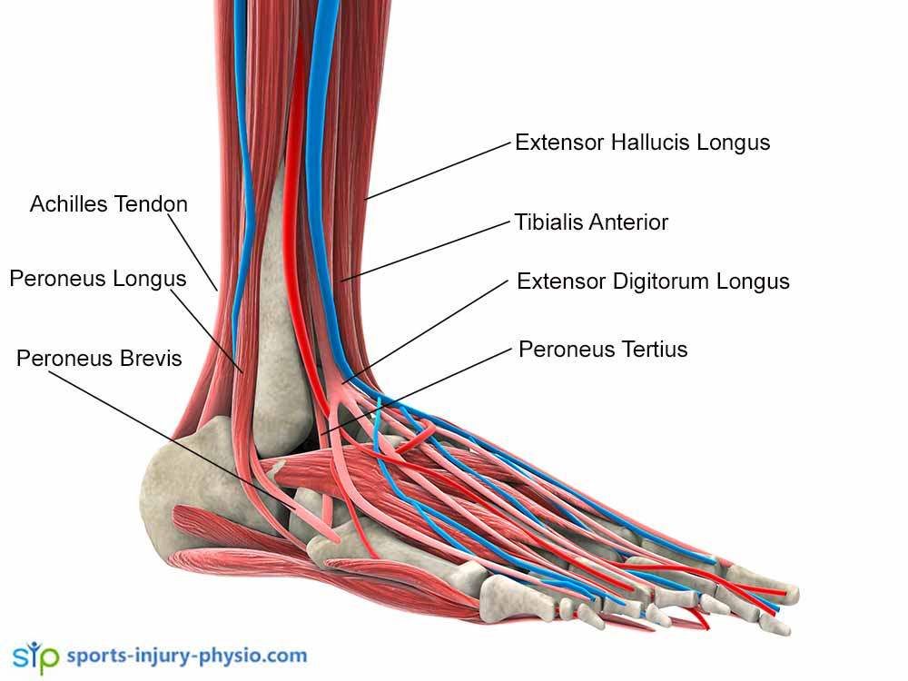 This picture shows the muscles and tendons that are often injured when you sprain your ankle. The most important muscles for ankle stability are the Tibialis Posterior, Tibialis Anterior and Peroneal muscles.