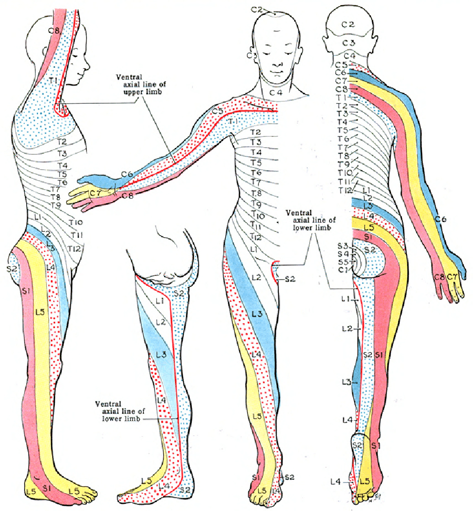 The dermatomes of the body
