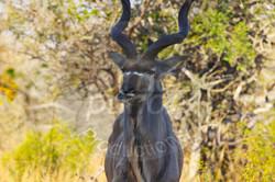 Kudu .jpg