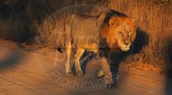 Lion Male.jpg