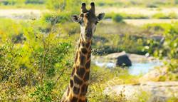 Giraffe .jpg