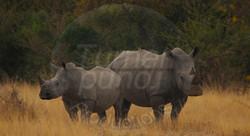 Rhino Pair.jpg