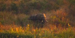 Elephant WS.jpg