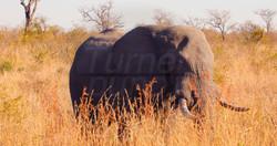 Elephant Grass.jpg