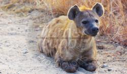Hyena Alert.jpg