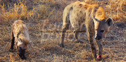 Hyena Baby Eats.jpg