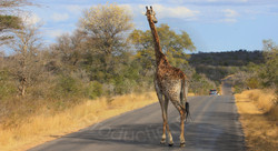 Giraffe Road Cross.jpg