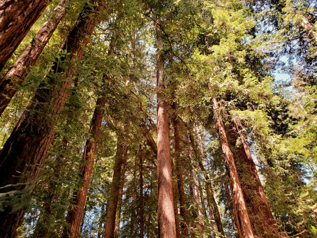 11 Facts About California Coastal Redwoods, The Tallest Trees In The World