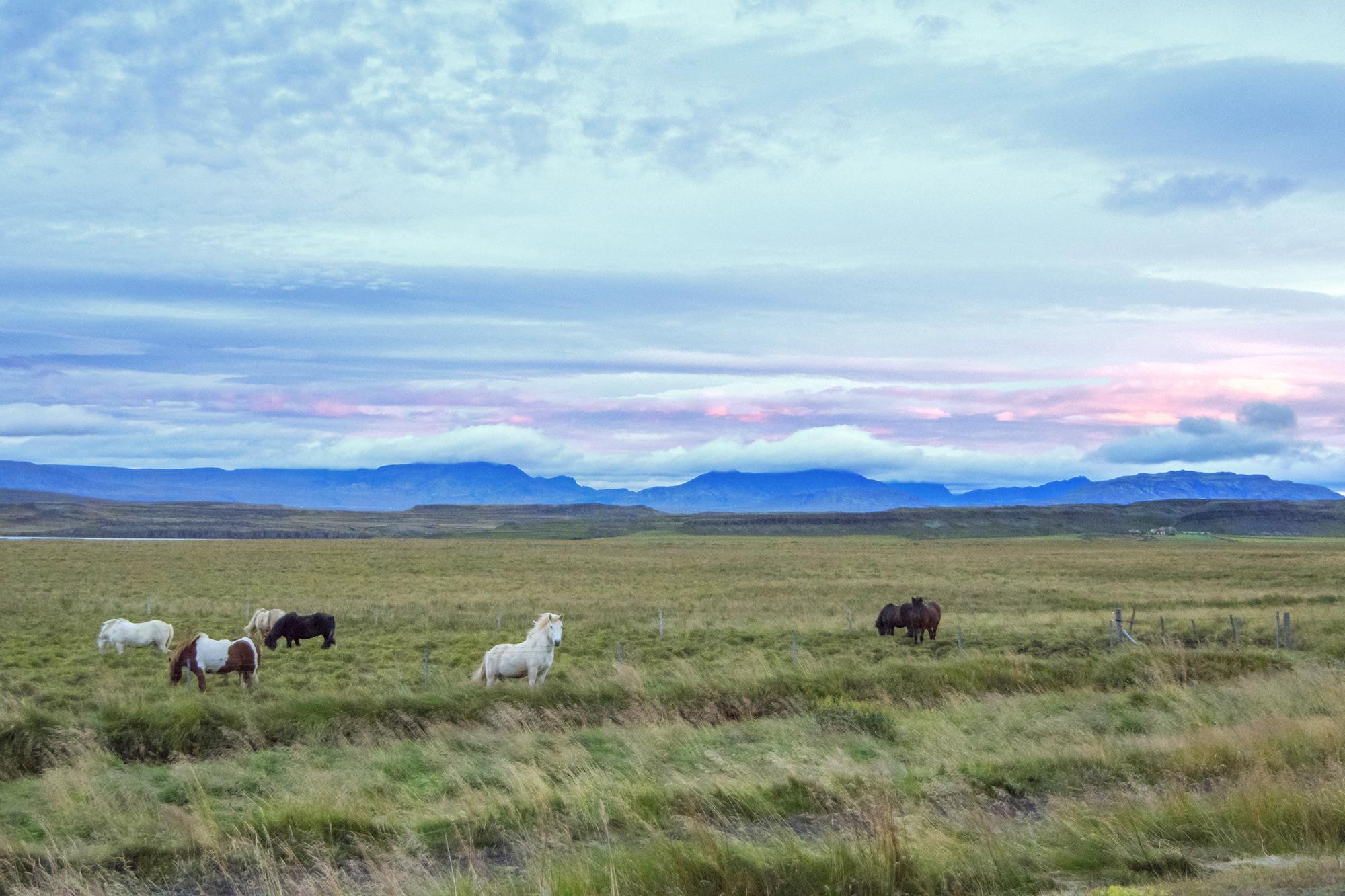 icelandic horse sunset