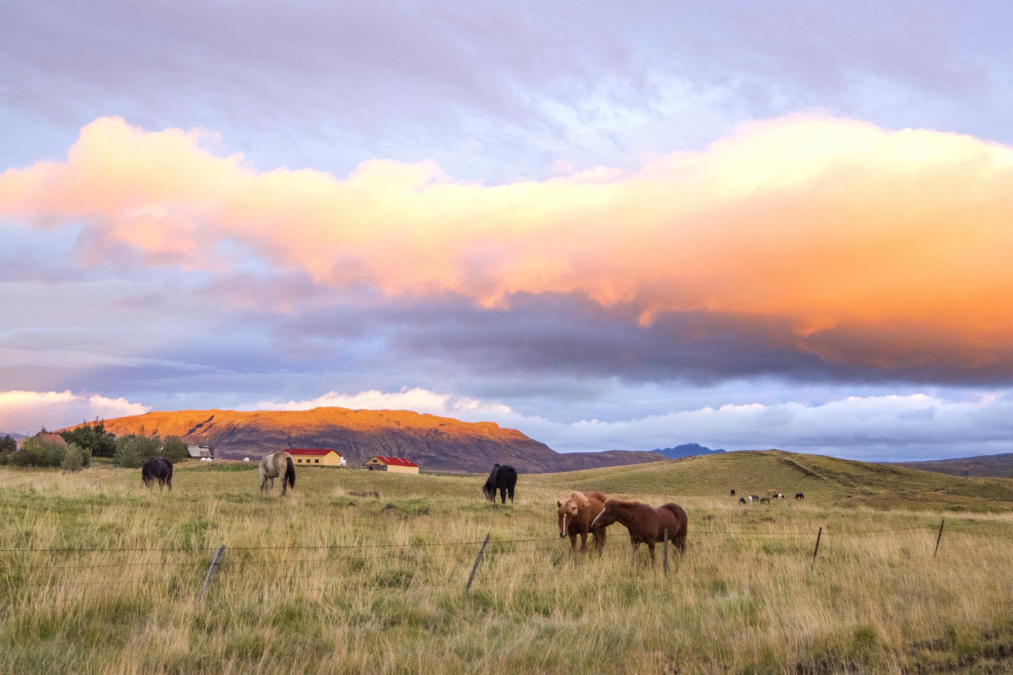 icelandic horses farm sunset