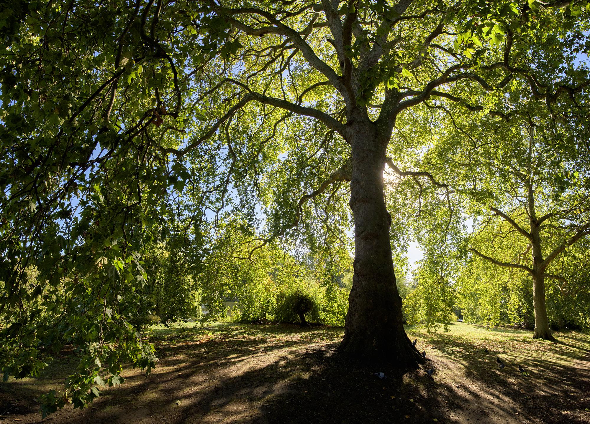tree in st james park london