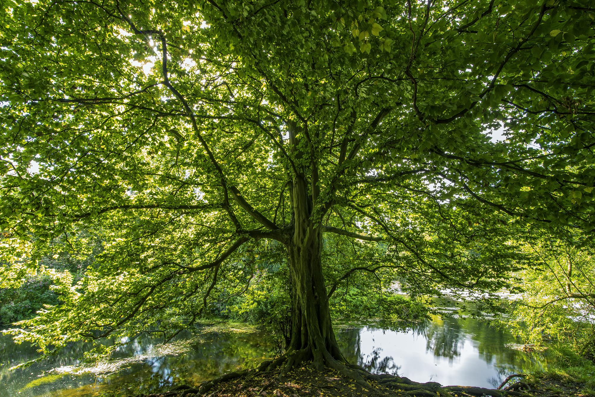 Saxon Mill Tree