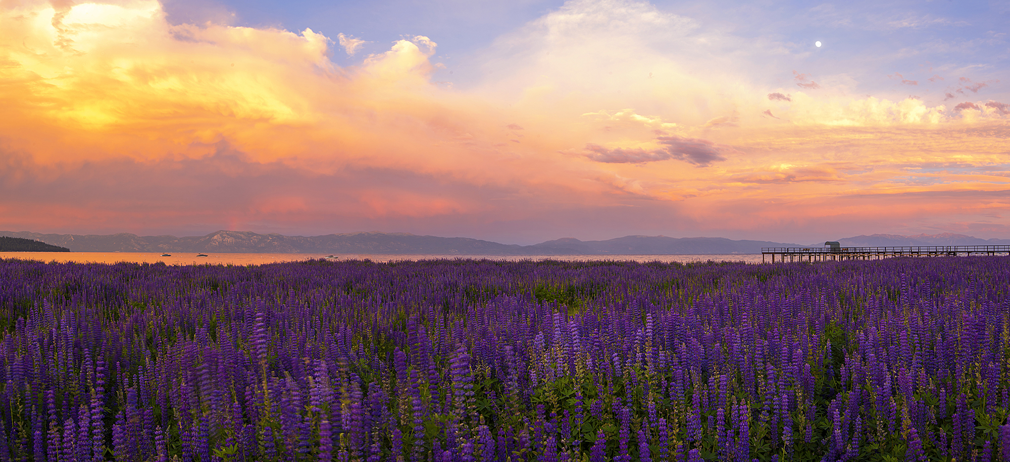 Commons Beach Lupine Sunset