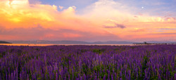 Commons Beach Lupine Sunset