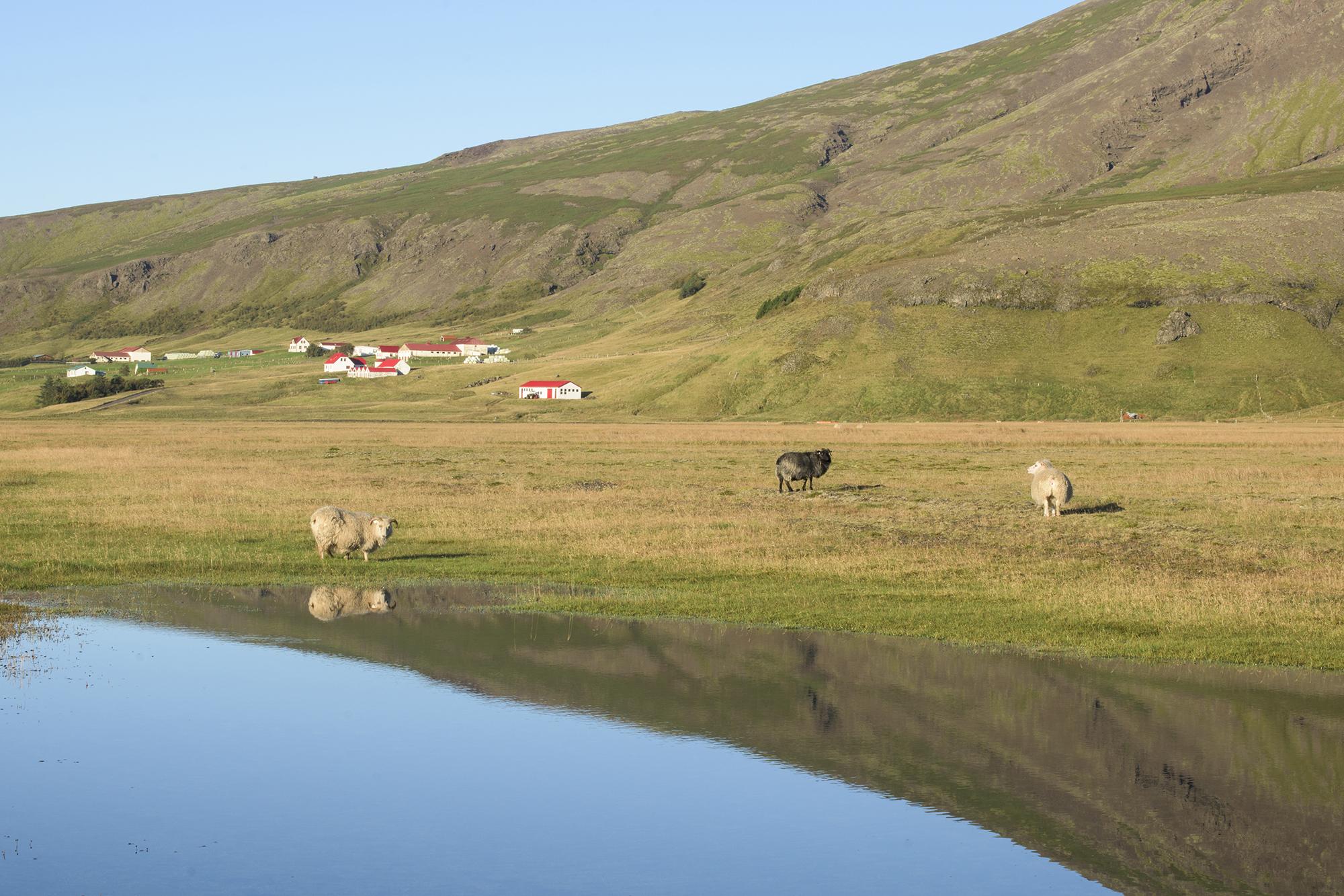 sheep reflection