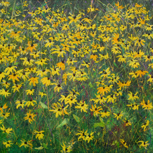 Taunton Lake Black-Eyed Susans