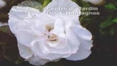 Rosier Blanc de Coubert