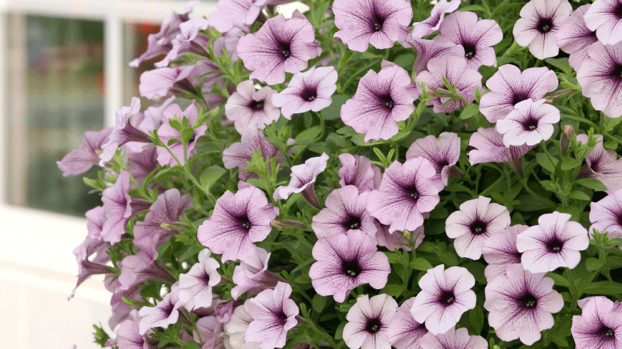 Jardinières Pétunia surfinia purple