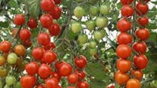 Tomates Suncherry