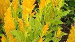 Célosie feuilles vertes