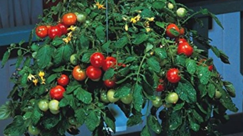 Jardinières Tomates Cerises Tumbler